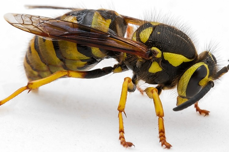 treat wasp sting